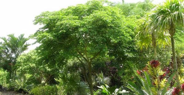 绿檀树背景图片